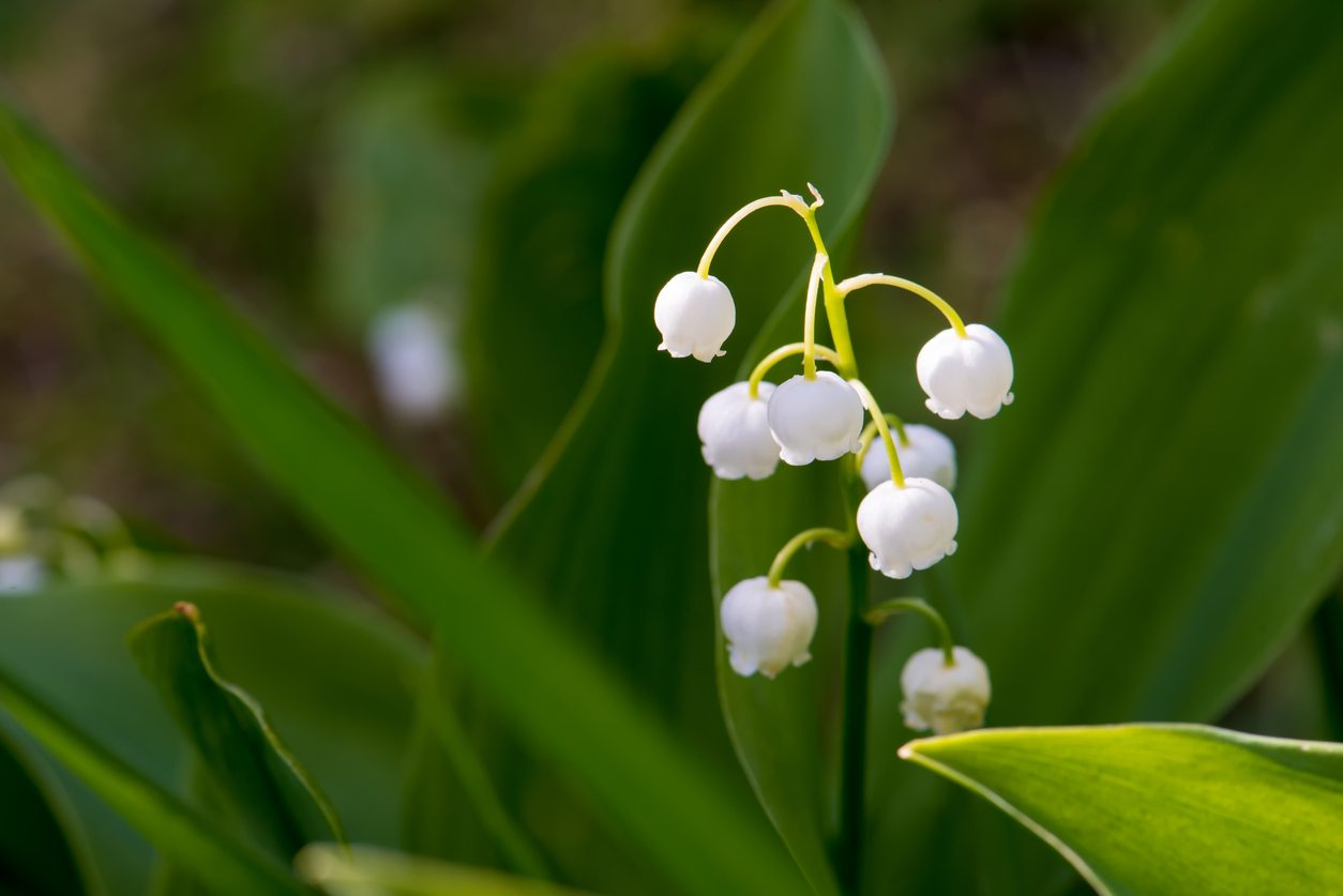 Toxicity Of Lily Of The Valley Plants Is Lily Of The Valley Safe To