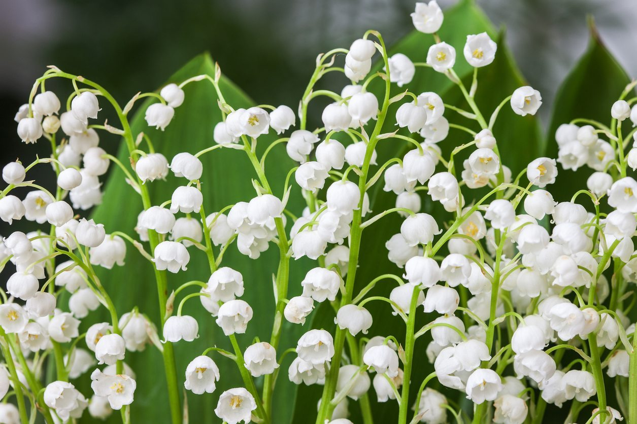 Lily Of The Valley Plant Types Learn About Different Kinds Of Lily