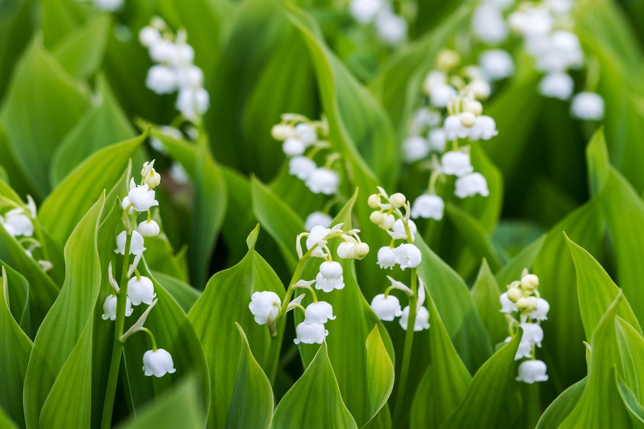 Transplanting Lily Of The Valley How To Transplant Lily Of The