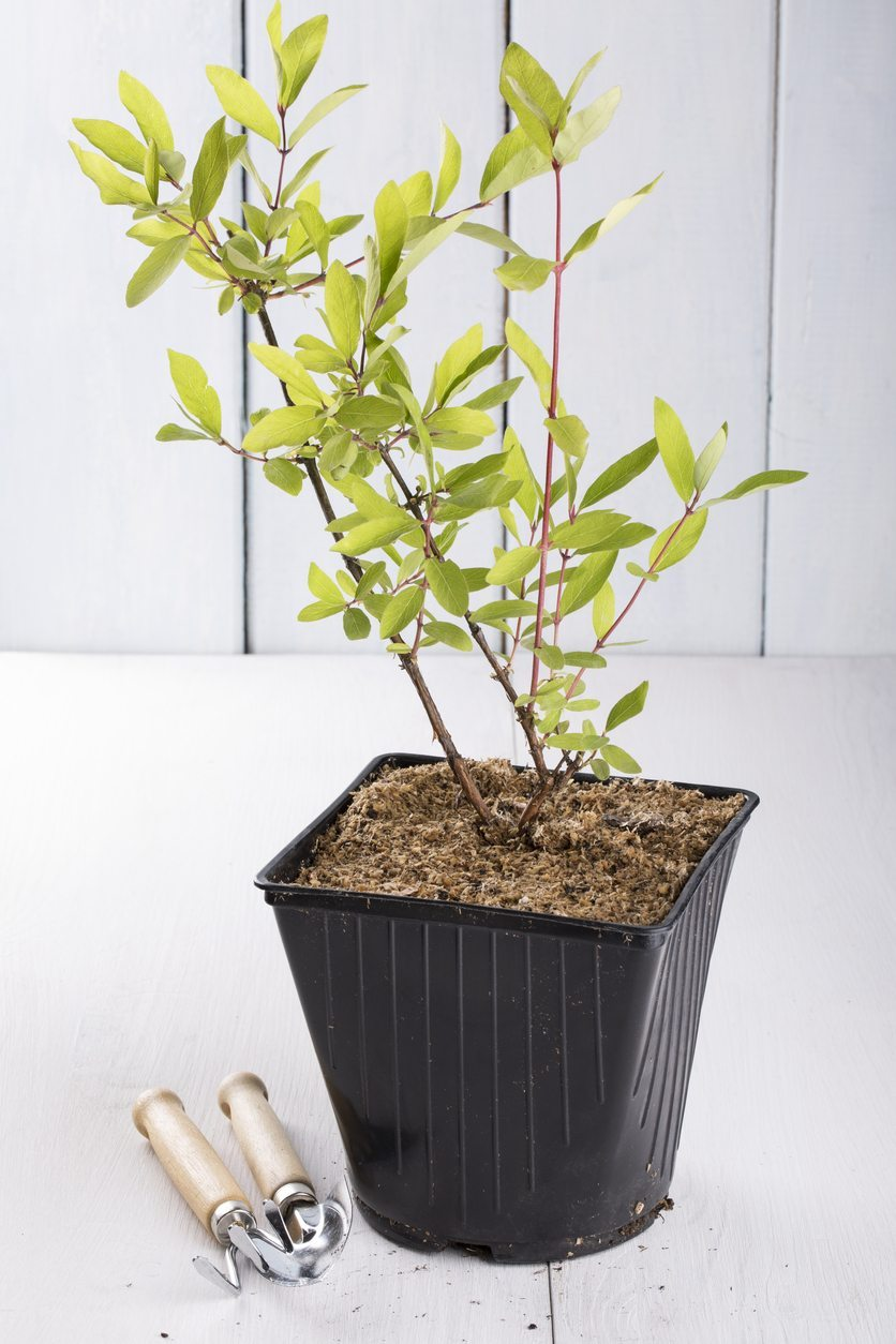 How to propagate honeysuckle Growing, care 59