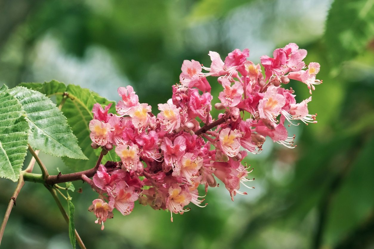What Is A Red Horsechestnut Tips For Growing A Red Horsechestnut Tree