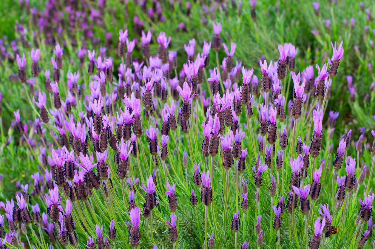 Spanish Lavender Information Learn About Growing Spanish Lavender Plants