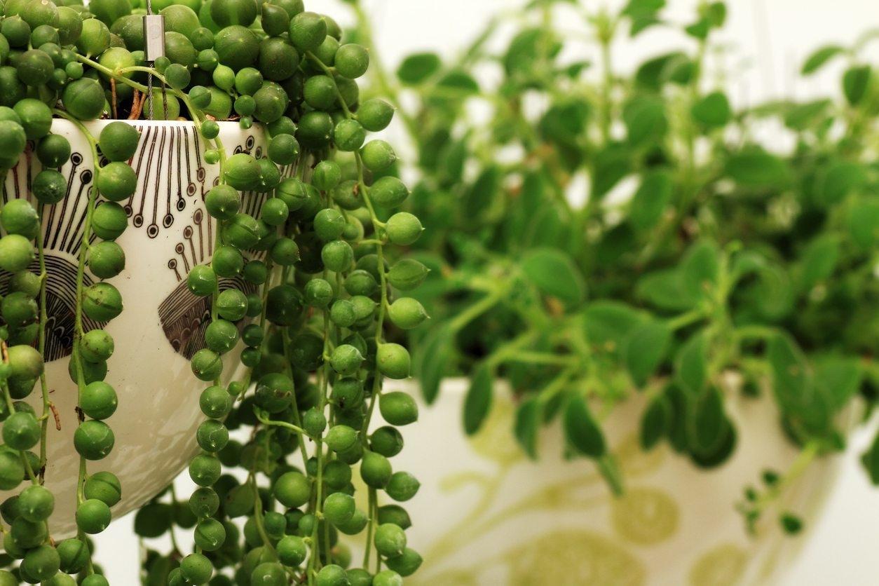 String Of Pearls Plant Cuttings How To Propagate A String Of Pearls Plant