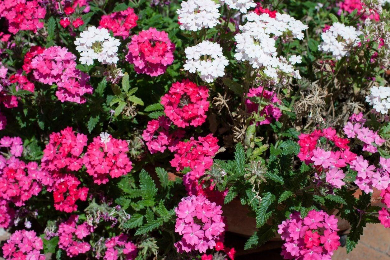 Creeping Verbena In The Garden Tips On Using Verbena As Groundcover