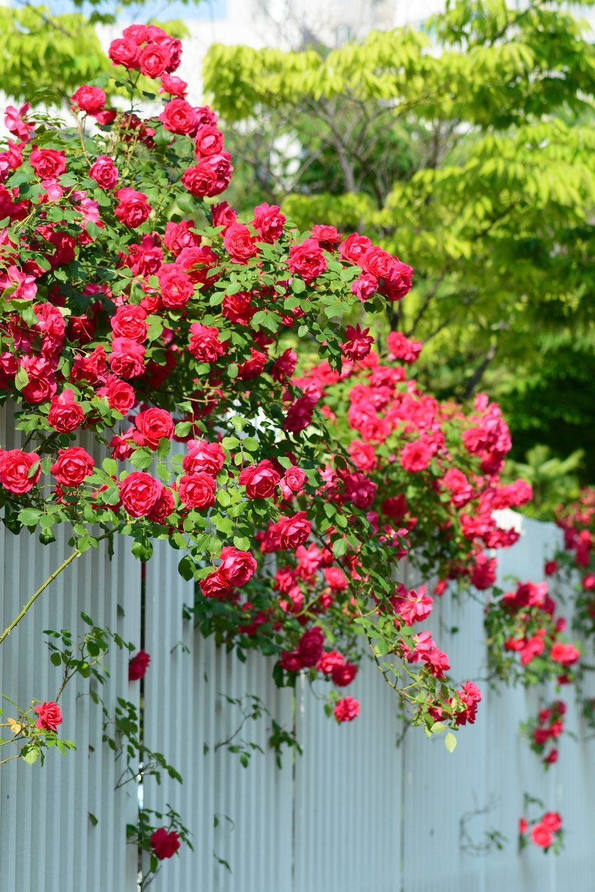 Growing Climbing Roses In Zone 9 Rose Varieties For Gardens