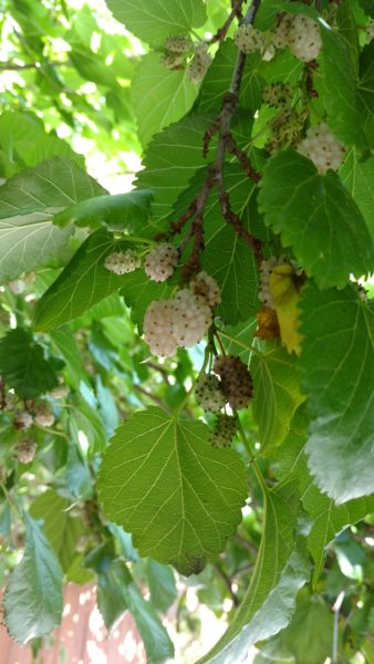 7793a4bb8e2f White Mulberry Care - Learn How To Grow A White Mulberry Tree