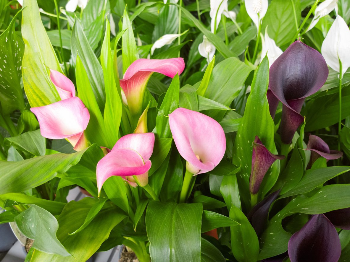 Types of calla lily learn about different varieties of calla lilies izmirmasajfo