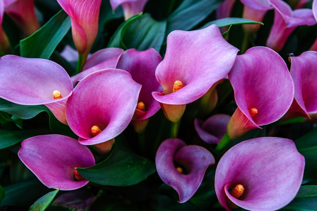 Are calla lilies annual or perennial tips on keeping callas year round izmirmasajfo