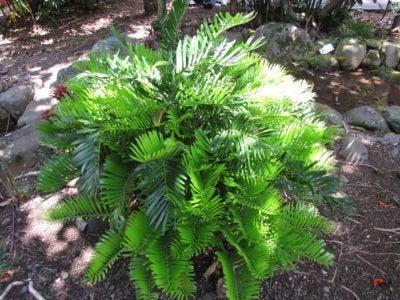 Florida arrowroot info learn how to grow zamia coontie plants for Planta ornamental zamia