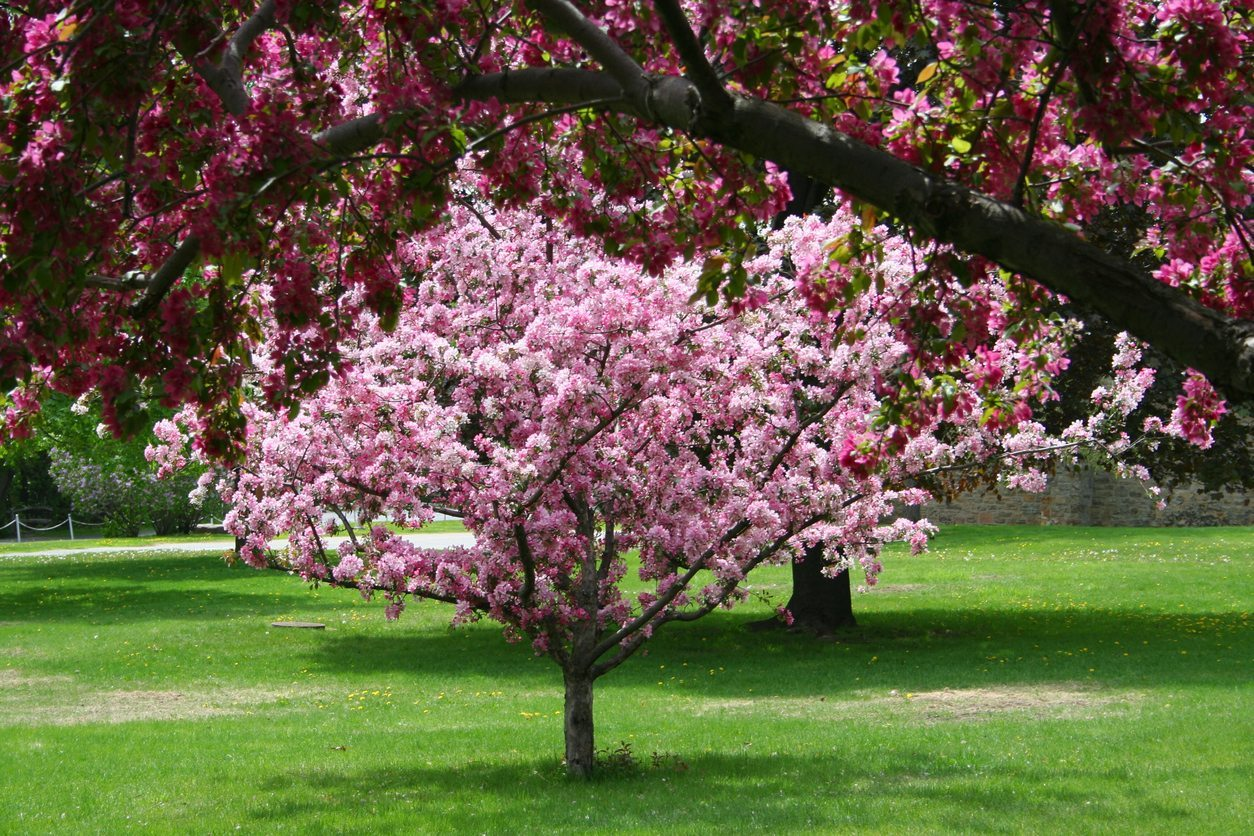 Crabapple Transplanting How And When To Transplant Crabapple Trees