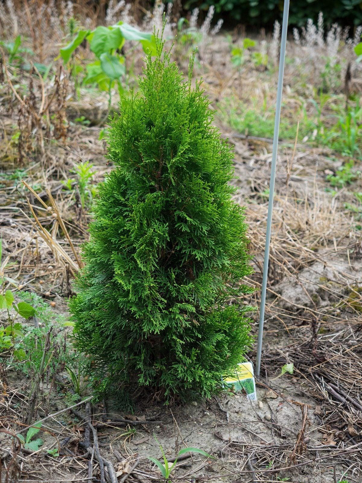Arborvitae Emerald Green - How To Grow Emerald Green ...
