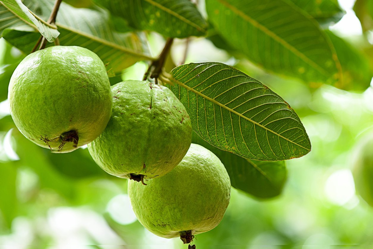 Feeding Guava Trees - How And When To Fertilize Guava Trees