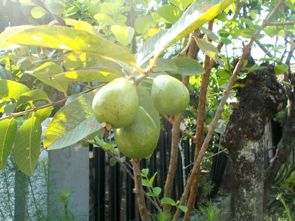 When Do Guava Trees Fruit How Long Until Guava Trees Produce Fruit