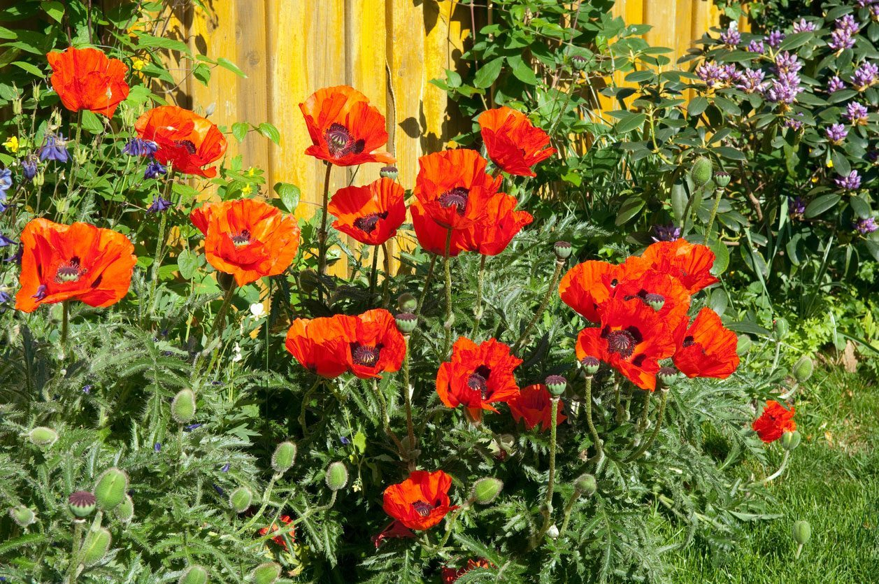Why Dont Oriental Poppies Bloom How To Get Flowers On Ornamental