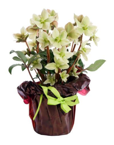 container grown hellebore  can you grow a hellebore in a container