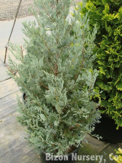 Wichita Blue Juniper Care Tips For Growing Junipers
