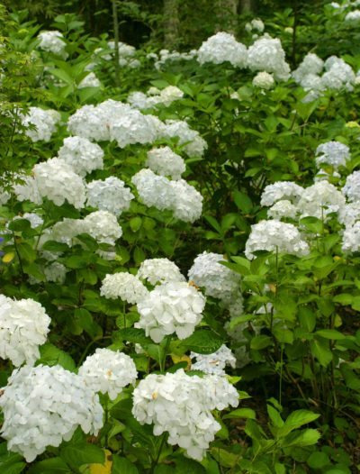 Common Flowering Shrubs For Zone 9 Picking Shrubs That Bloom In Zone 9