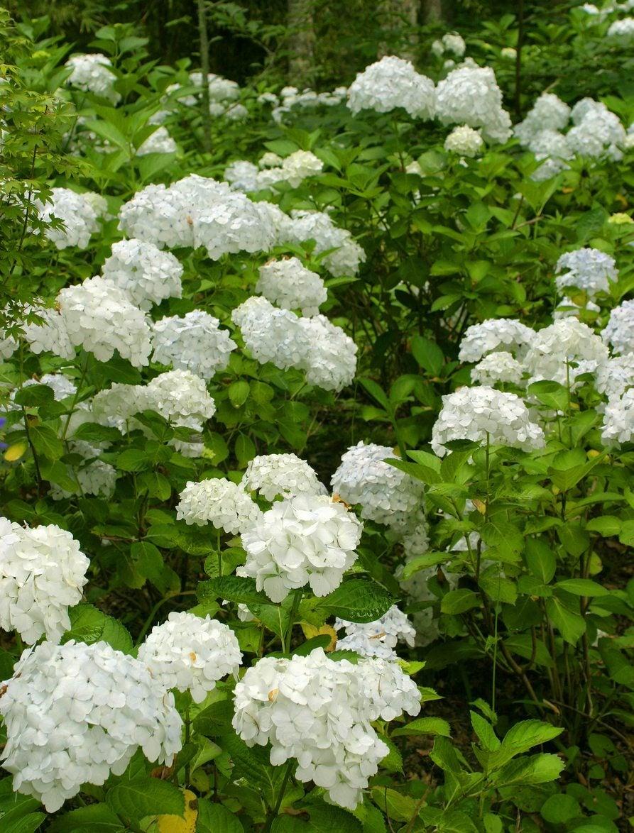 Common Flowering Shrubs For Zone 9 Picking Shrubs That Bloom In Zone 9