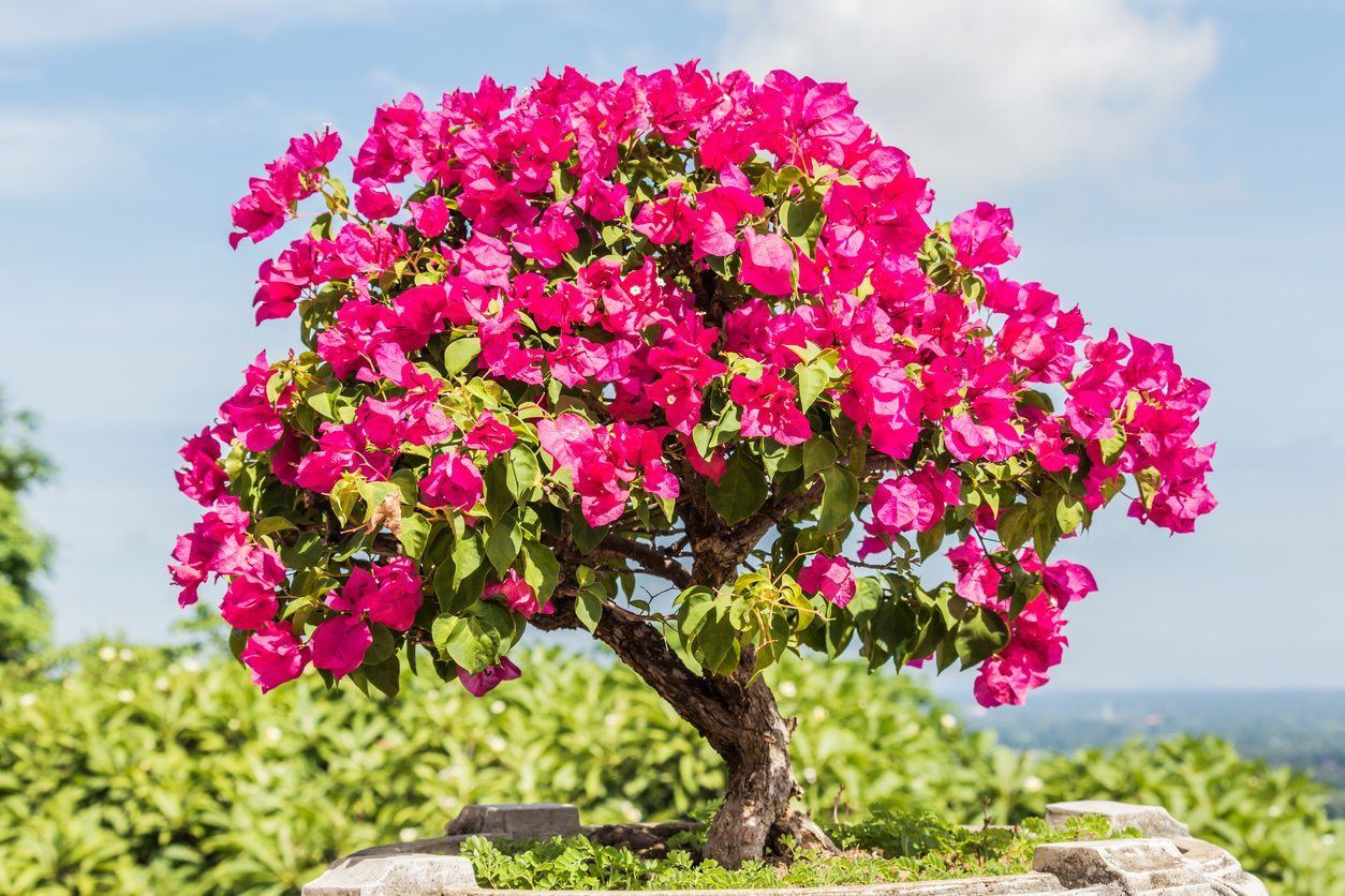 Bonsai Bougainvillea Tips Can You Make A Bonsai Out Of Bougainvillea Plants