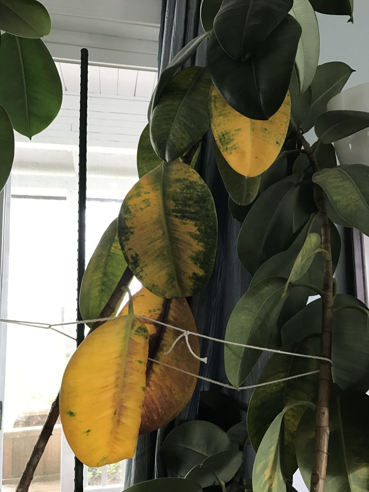 Rubber Plant Leaves Are Turning Yellow Fixing A Rubber Plant With Yellow Leaves