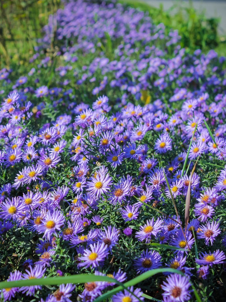 How And When To Divide Aster Plants A Guide To Separating Asters In