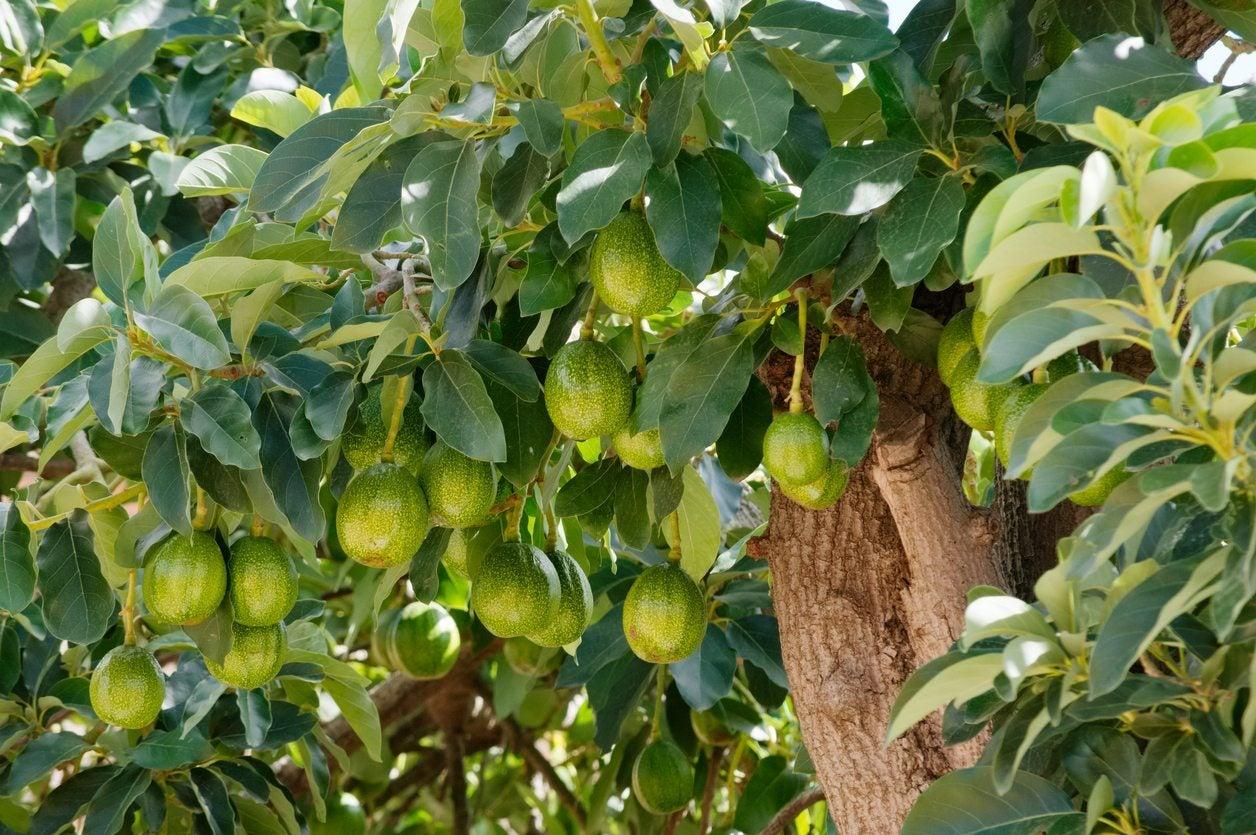 transplanting avocado trees