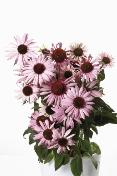 Can You Grow Coneflowers In Containers