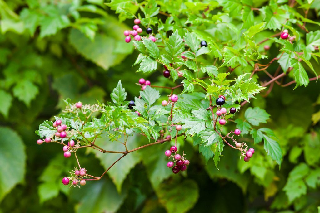 Controlling Peppervine Plants How To Get Rid Of