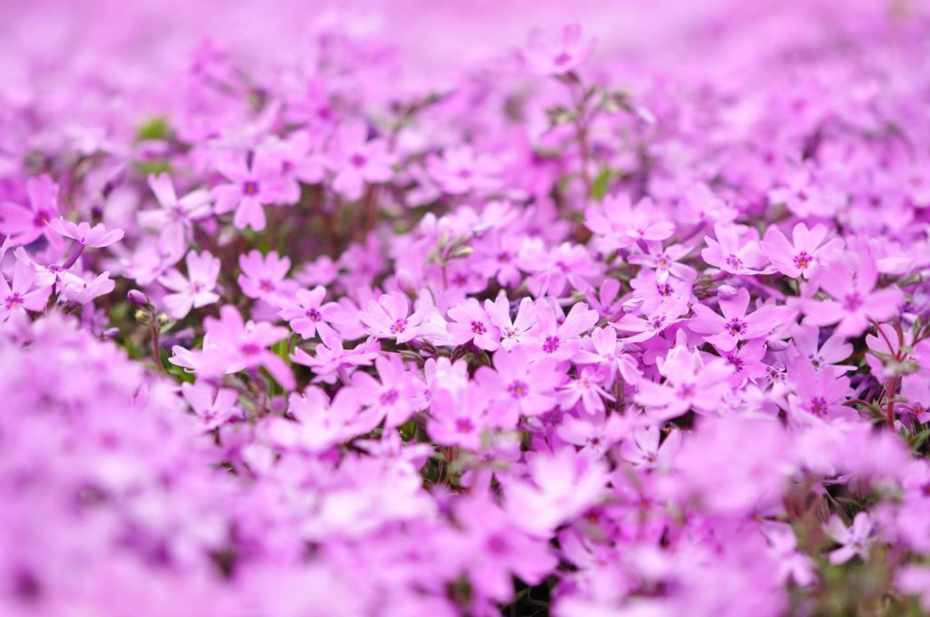 Is Thrift A Kind Of Phlox Learn The Difference Between Thrift And