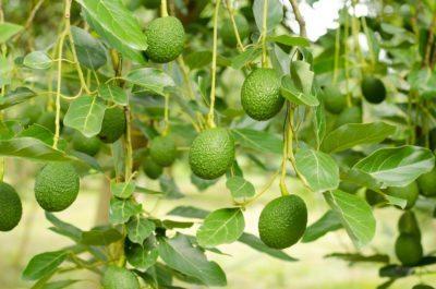 No Fruit On An Avocado Tree What To Do When An Avocado Wont