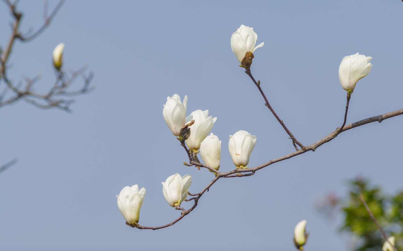 My Magnolia Buds Won't Open - Learn How To Make A Magnolia ...