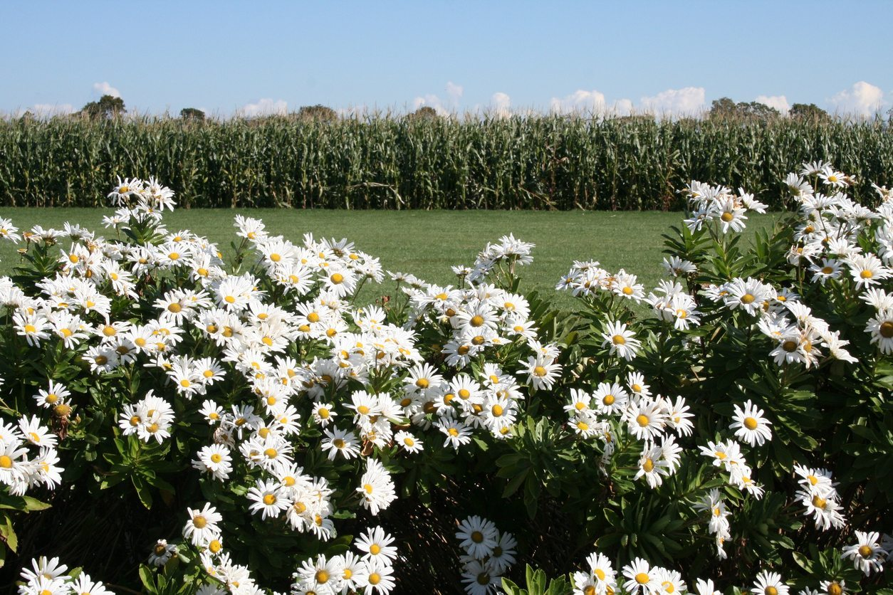 Montauk daisy plants tips for growing montauk daisies izmirmasajfo