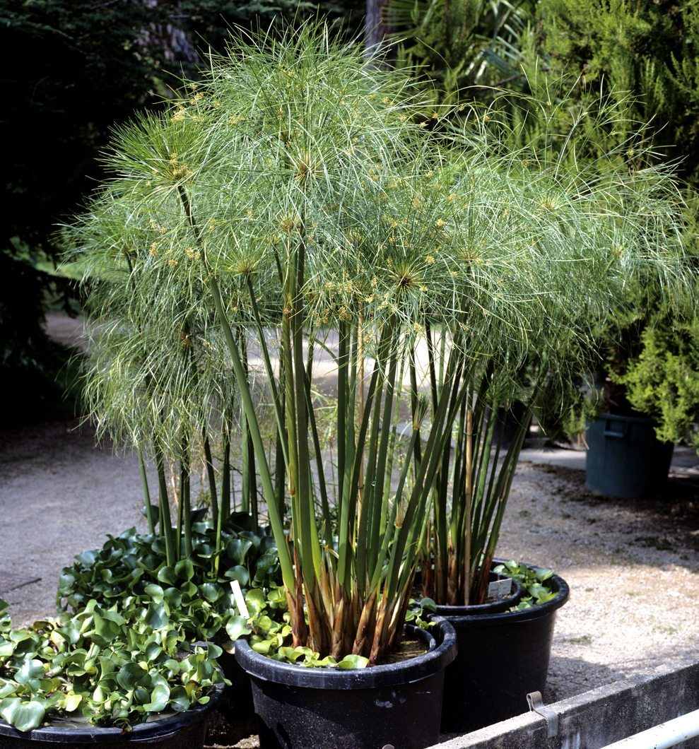 Winterizing Cyperus Papyrus: How To Care For Papyrus In Winter