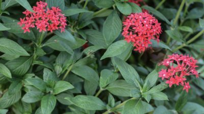 Pentas plant pruning how and when to cut back a pentas plant tips for trimming pentas learn how to prune pentas plants mightylinksfo