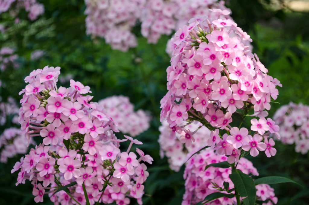 Splitting Phlox Plants How And When To Divide Phlox In The Garden