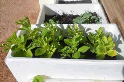 Can You Grow Plants In Foam Boxes Tips On Growing Plants In Foam