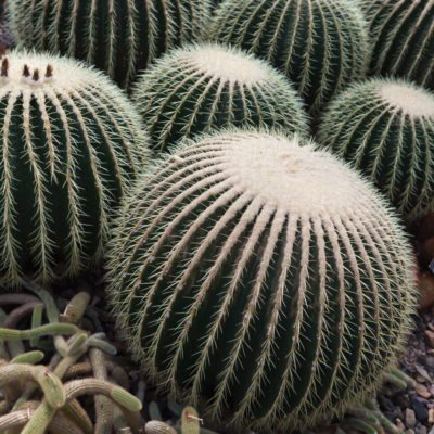 Ferocactus Plant Info Growing Diffe Types Of Barrel Cacti