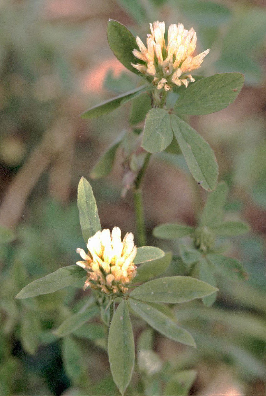 What Is Berseem Clover Learn How To Grow Berseem Clover Cover Crops