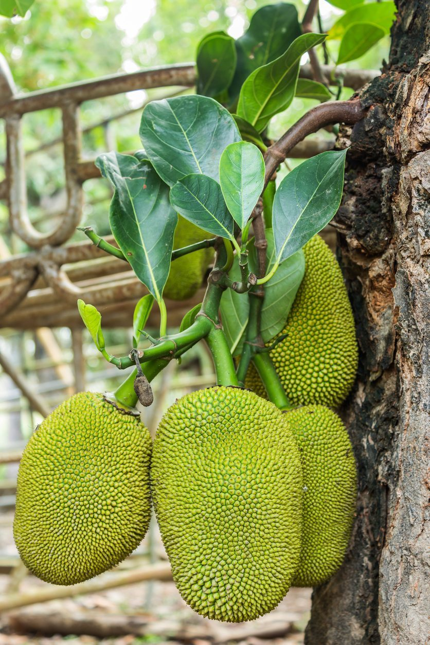 Tips For Picking Jackfruit - Learn How To Harvest Jackfruit Trees