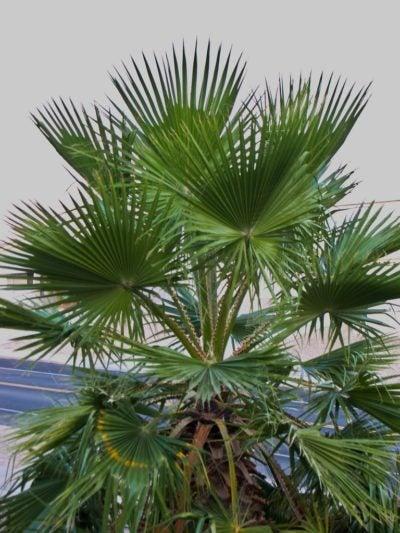 Mexican Fan Palm Info Learn About Growing Palms