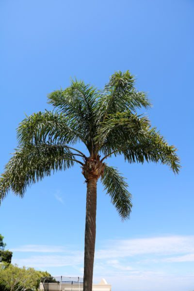 Queen Palm Care Learn How To Grow A
