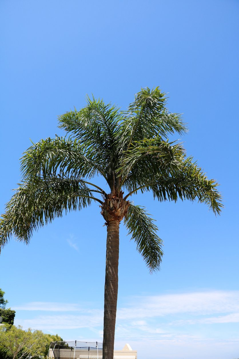 How to Grow a Queen Palm pictures