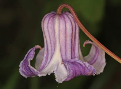Swamp Leather Flower Info: Learn About Swamp Leather Clematis