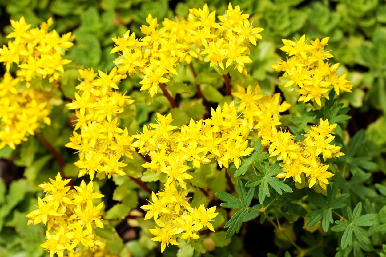 What Is Sedum Acre Learn How To Grow Goldmoss Stonecrop