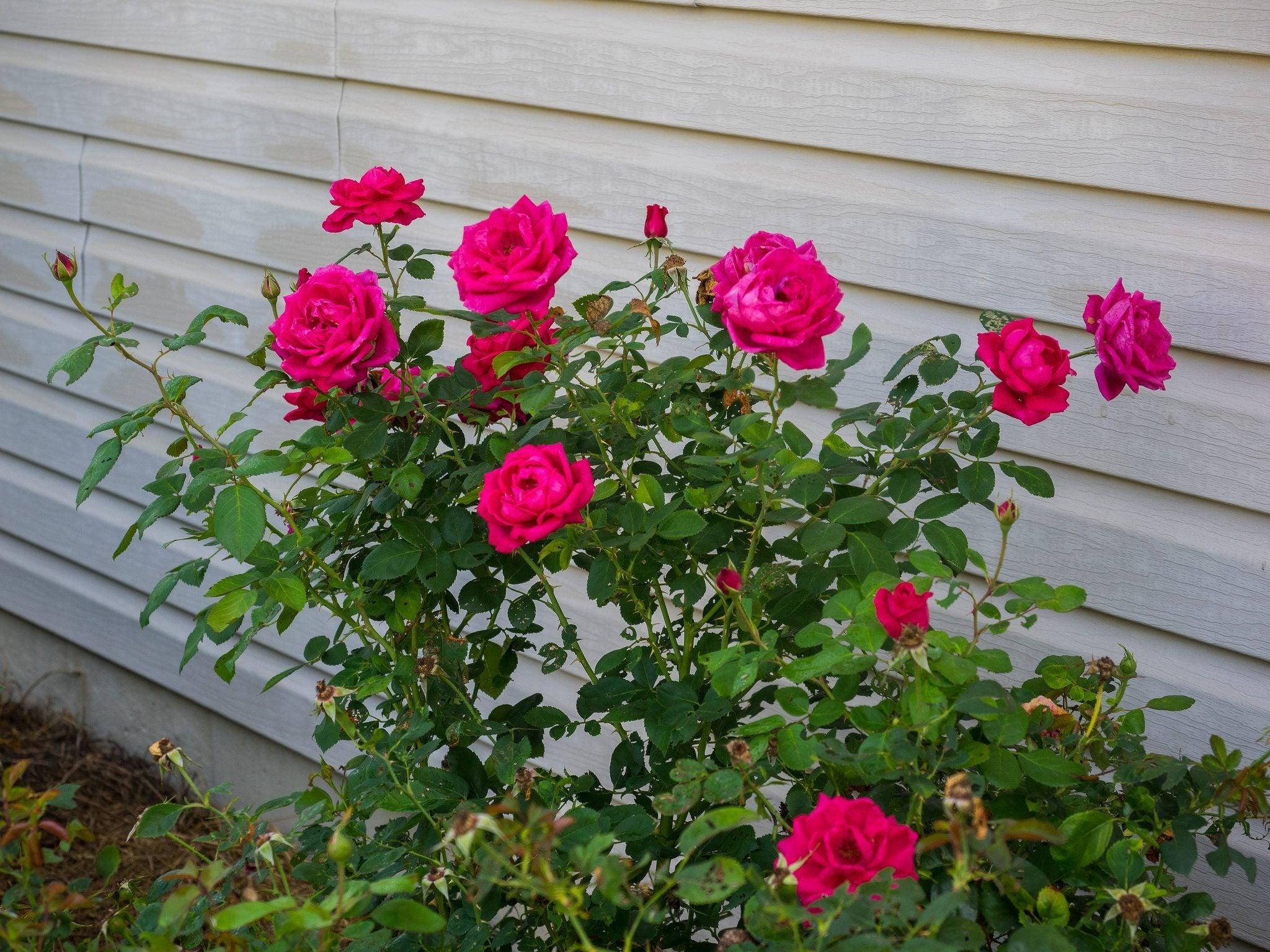 Easy Elegance Rose Information Growing Easy Elegance Roses In The