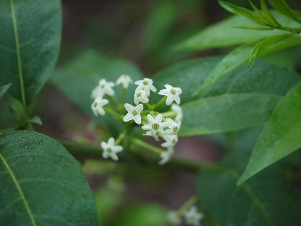 What is night blooming jasmine tips for growing night jasmine plants izmirmasajfo