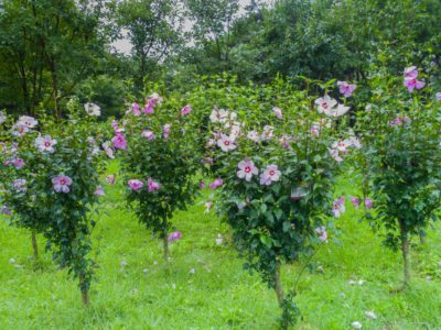 Fertilizing Rose Of Sharon Plants How Much To Feed An Althea Shrub