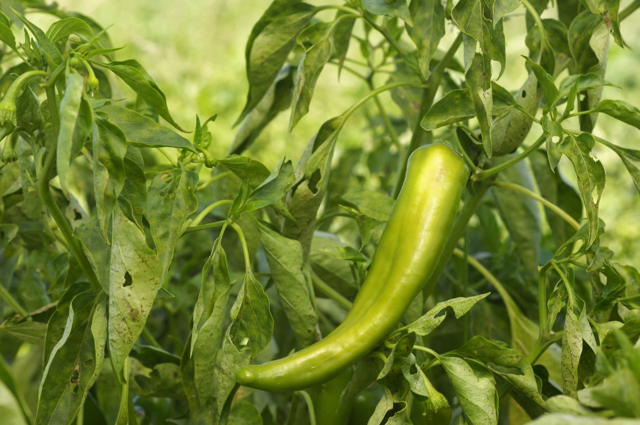 Anaheim Pepper Care And Uses Learn How To Grow Anaheim Peppers