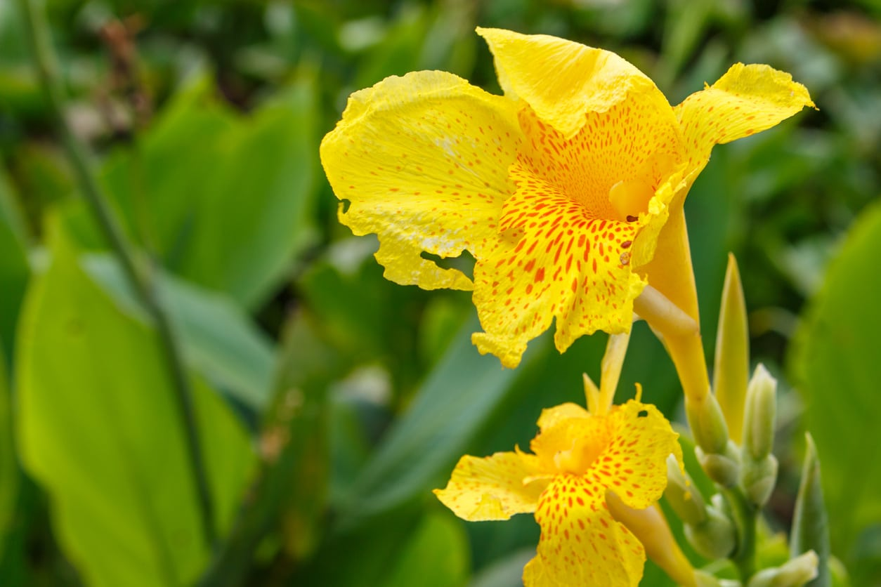 How Much To Feed Canna Lily Plants A Guide To Fertilizing Canna Lilies
