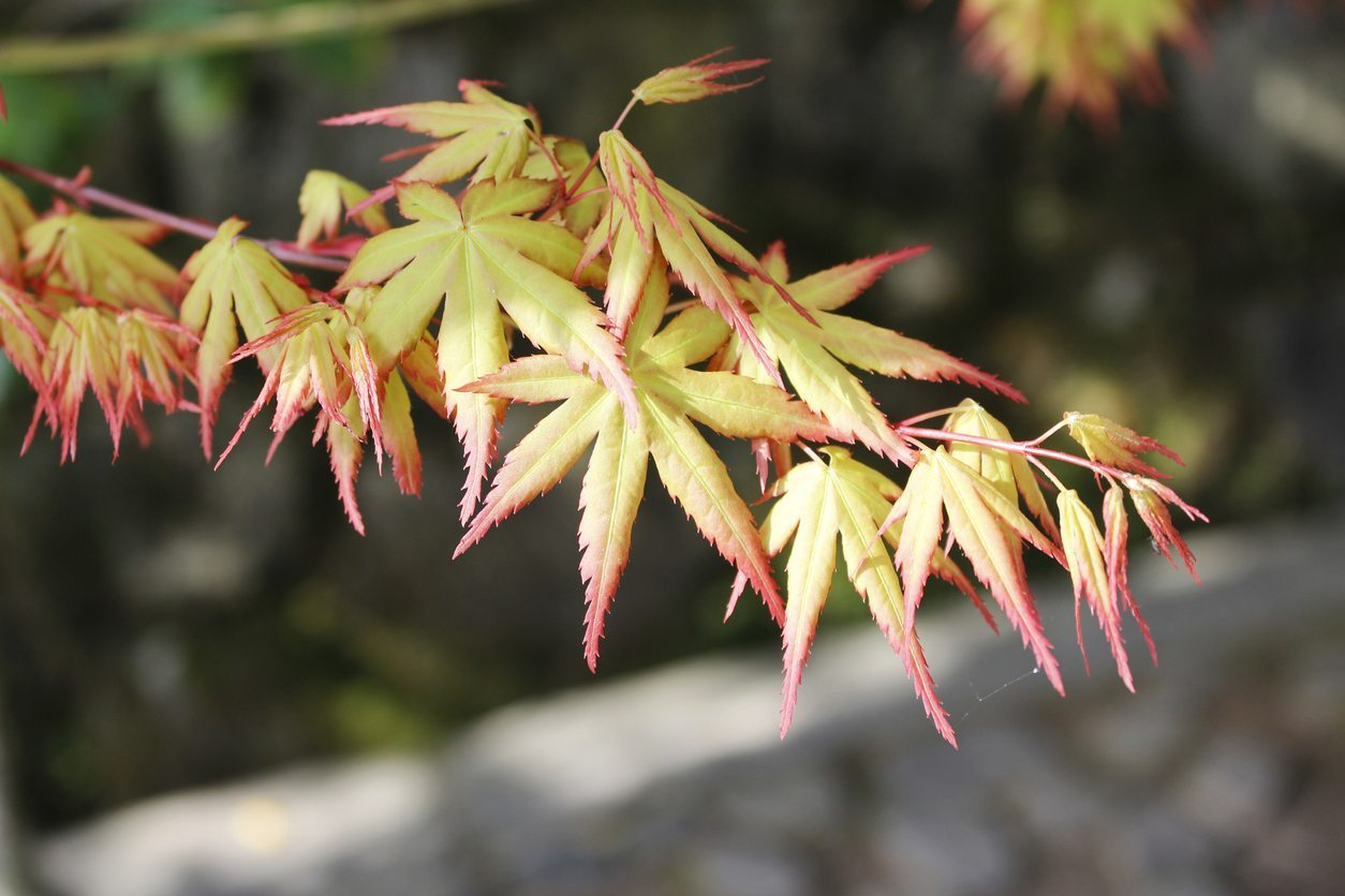 Japanese Maples Not Leafing Out Reasons For No Leaves On Japanese Maple Trees